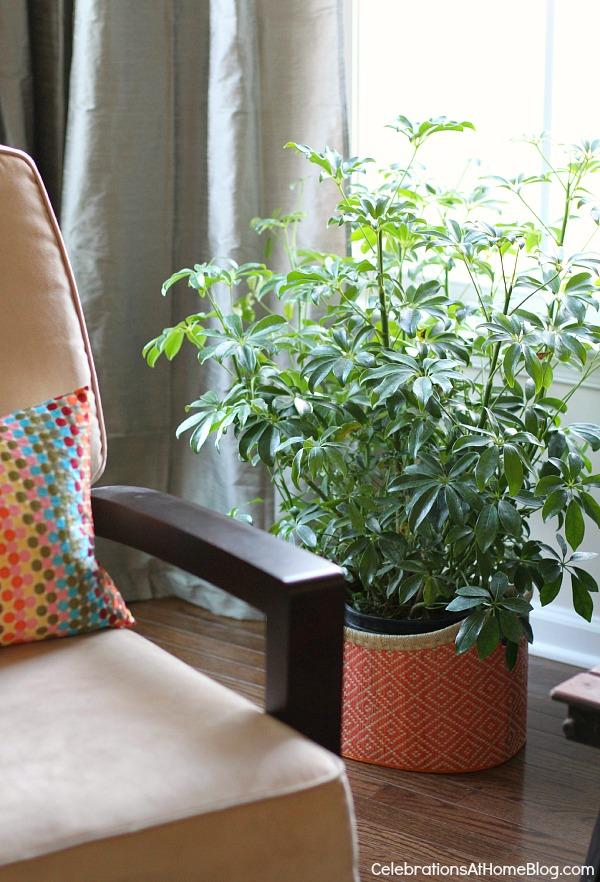 house plant schefflera